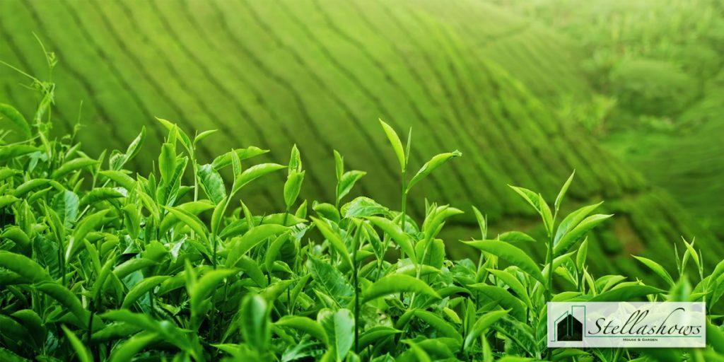 ชาเขียวมัทชะญี่ปุ่น