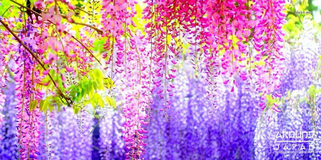 3 สถานที่ ชมสวนวิสทีเรียแสนสวย ในญี่ปุ่น