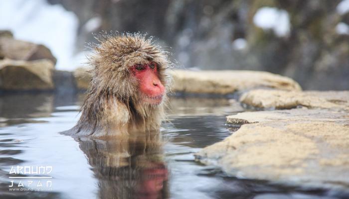 มาดูลิงแช่ออนเซนกันที่ Jigokudani Snow Monkey Park หลายๆคนน่าจะเคยเห็นรูปในอินเตอร์เน็ตกันมาบ้างแล้ว กับ ภาพลิงน้อยขนปุยที่แช่น้ำอย่างสบายใจ