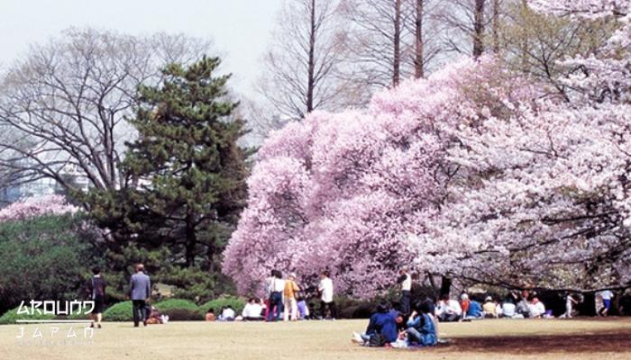 3 สถานที่ชื่นชมดอกซากุระบานสะพรั่ง ที่โตเกียว ในเดือนเมษายน ช่วงเดือนเมษายนนี้เป็นช่วงไฮไลท์ของ ประเทศญี่ปุ่น เพราะเป็นช่วงเทศกาลท่องเที่ยว