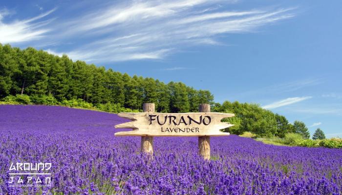 สัมผัสธรรมชาติกันที่ฟุระโนะ ชื่มชมทุ่งดอกลาเวนเดอร์หน้าร้อน ญี่ปุ่นนั้น มีสถานที่ที่มีความสวยงามมากมาย ไม่ว่าจะเป็นวัด ภูเขา ทะเล อุทยาน